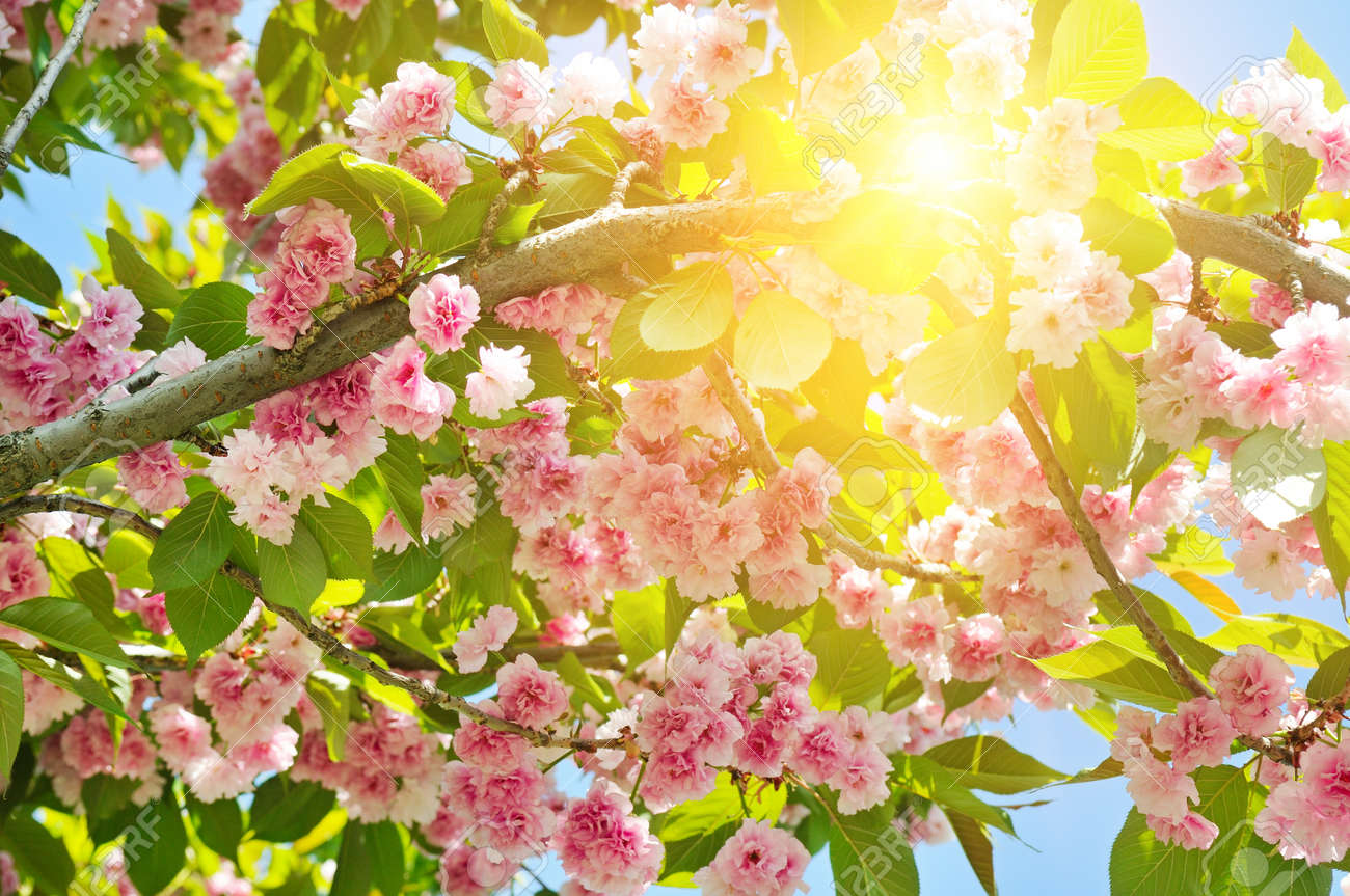 Cherry Blossom Or Sakura Flower On Nature Background Flowers