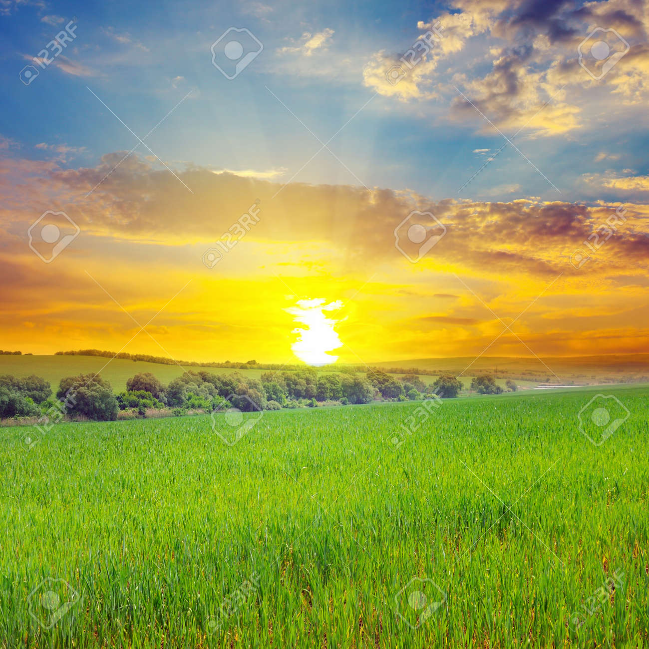 Green field, sun and blue sky. Agricultural landscape. - 146548990