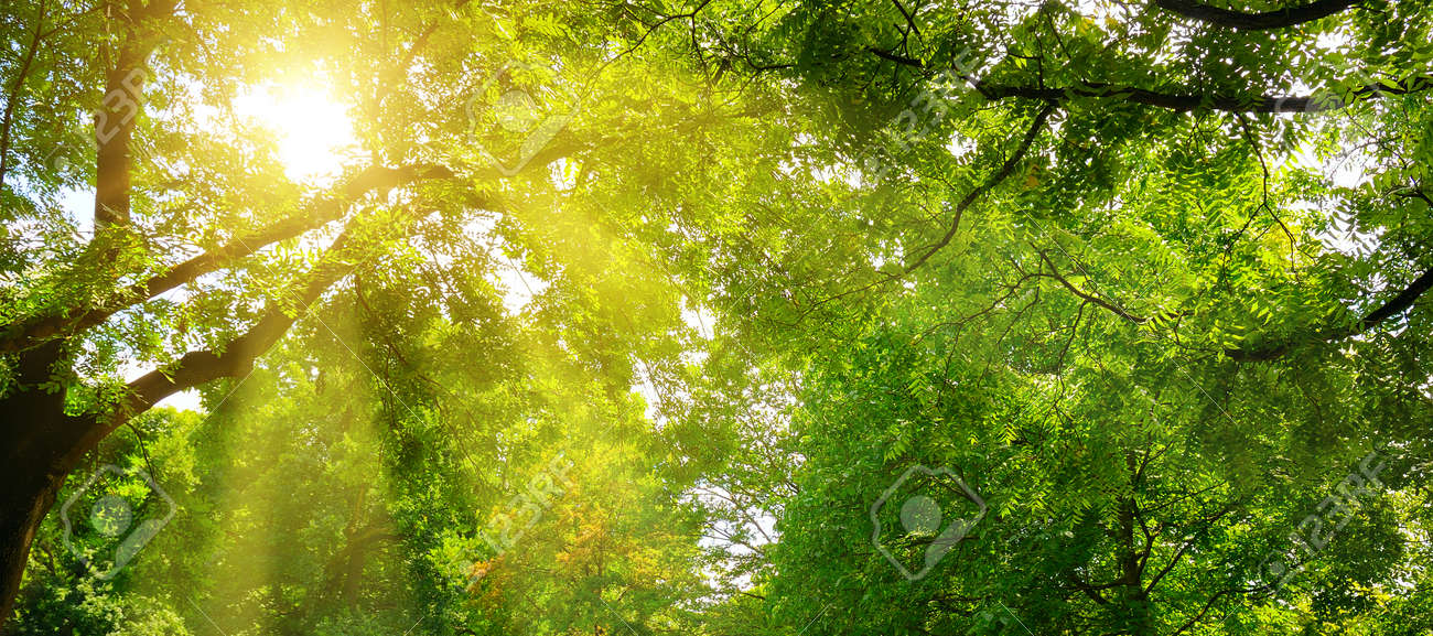 Summer park. The sun's rays shine through the green crowns of trees. Wide photo. - 157005122
