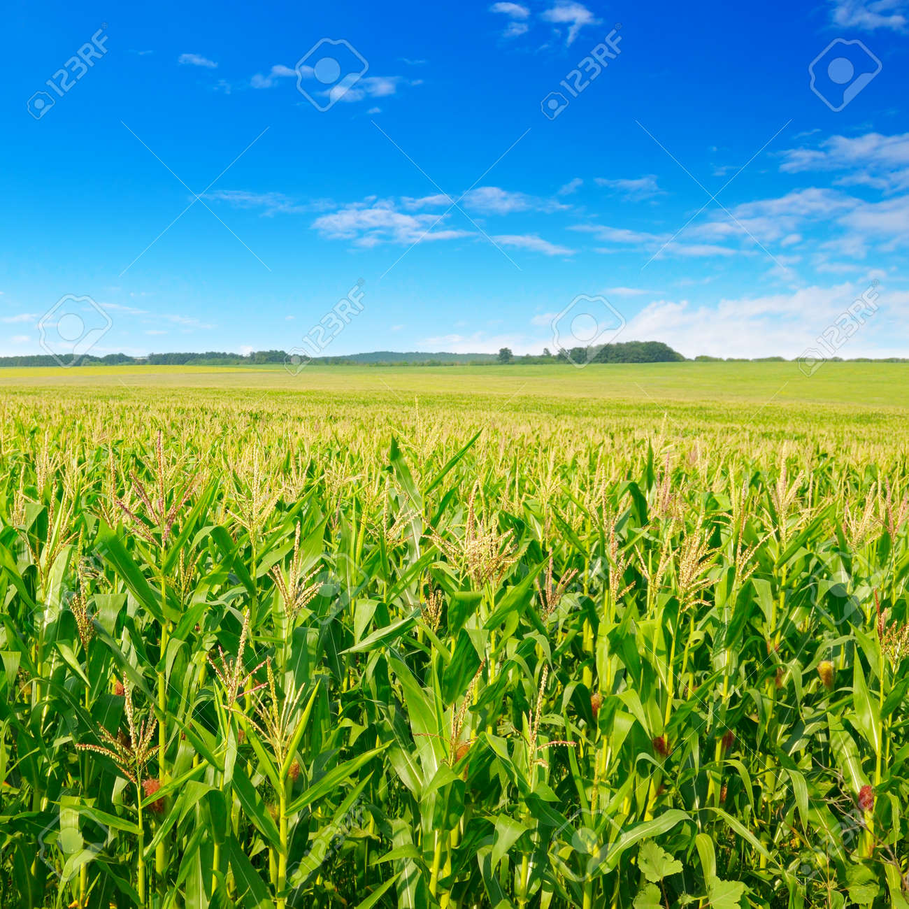 Green corn field and beautiful clouds in the blue sky. Agricultural landscape. - 157055330