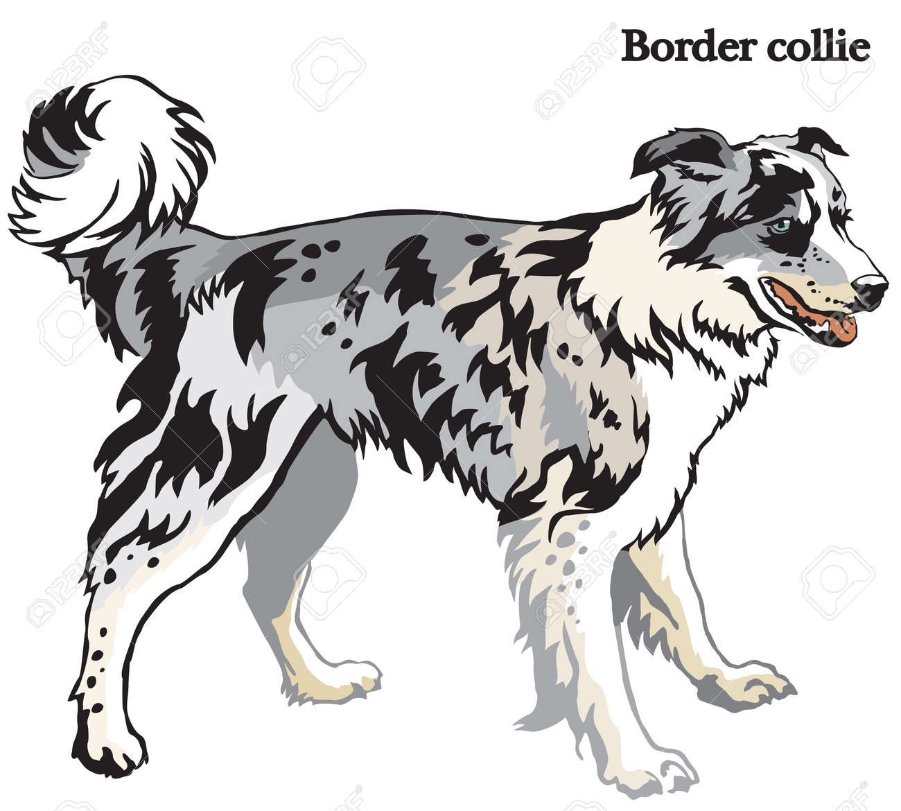 Portrait Of Standing In Profile Dog Border Collie Blue Merle