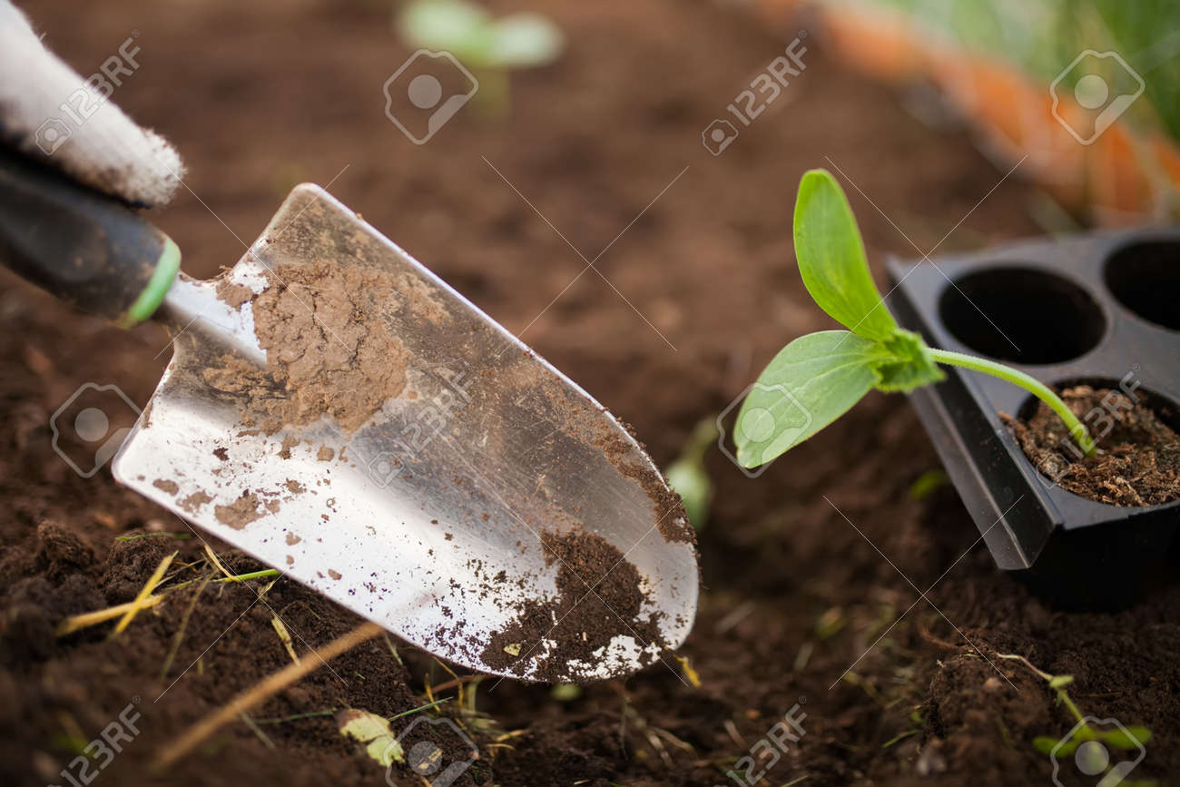 Cucumber Seedlings Grow In The Ground, Seasonal Garden Works Stock ...
