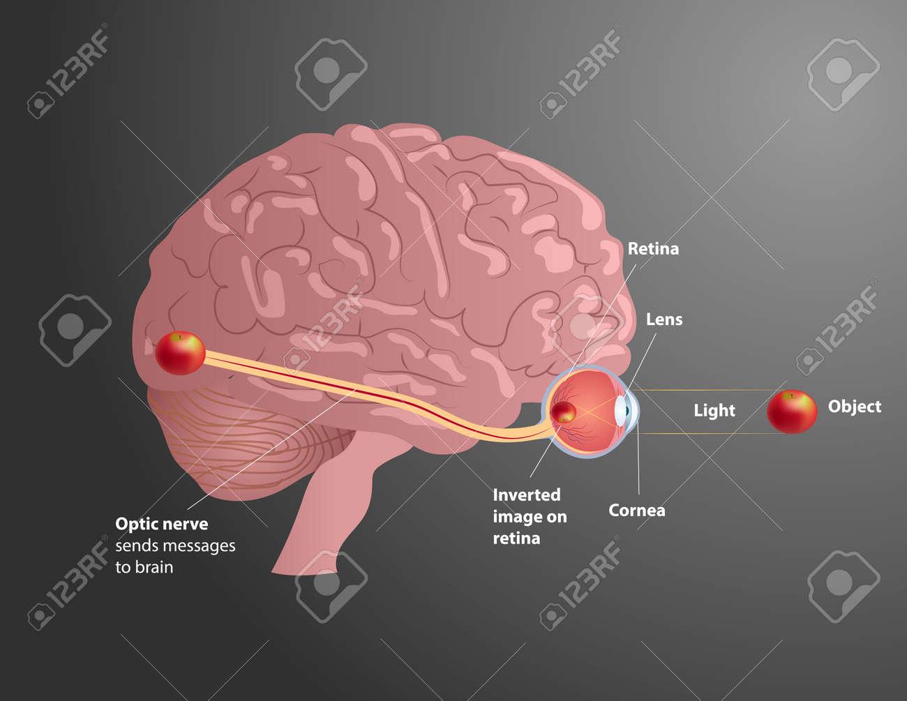 Vision process illustration  Human anatomy  Human organs vector