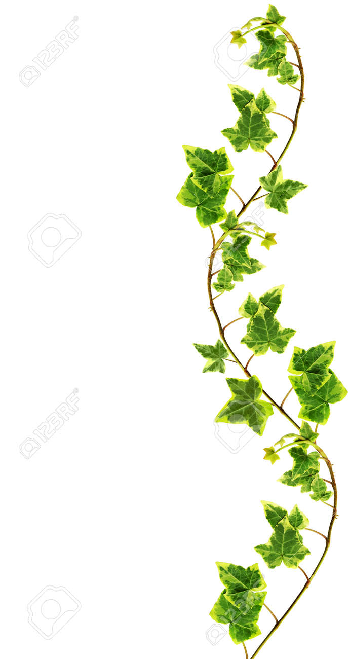Border made of Green ivy isolated on white background Stock Photo - 11566413