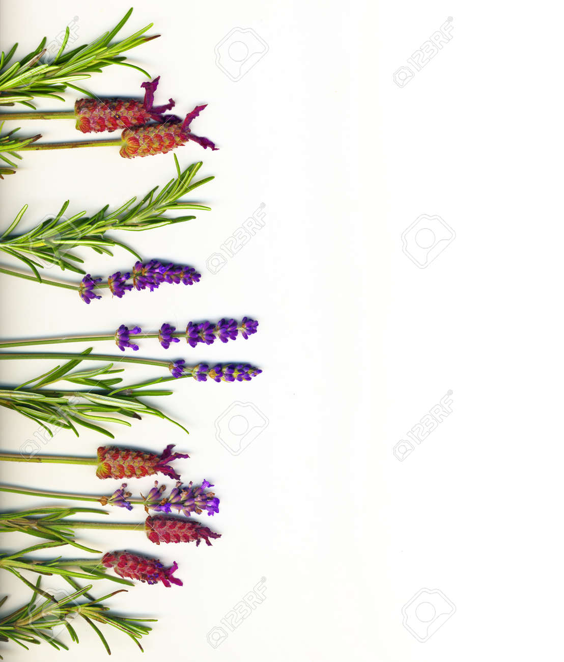 A Border Made Of Healing Herbs Lavander And Rosemary On A White