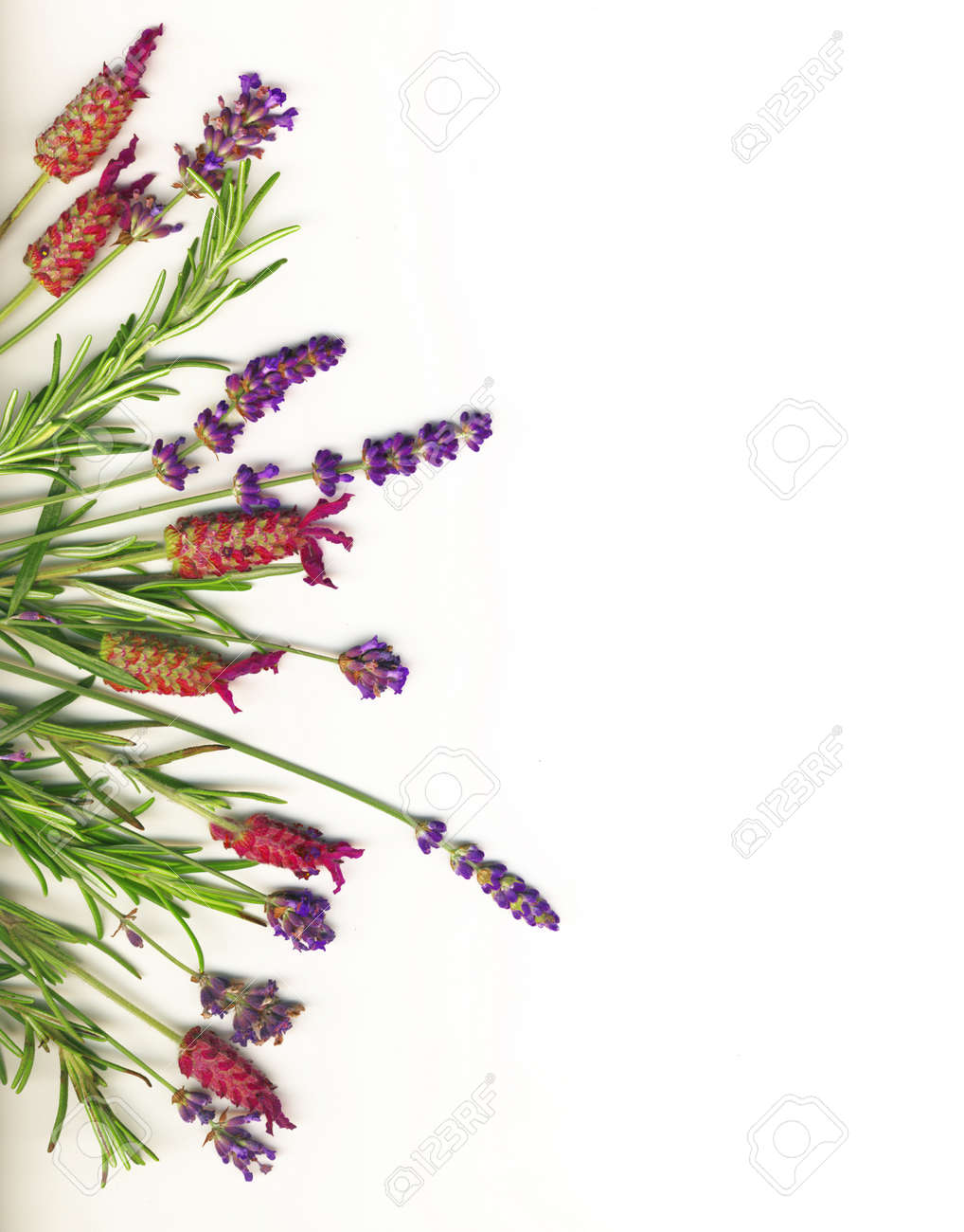 Lavender and Rosemary isolated on white Stock Photo - 11586692