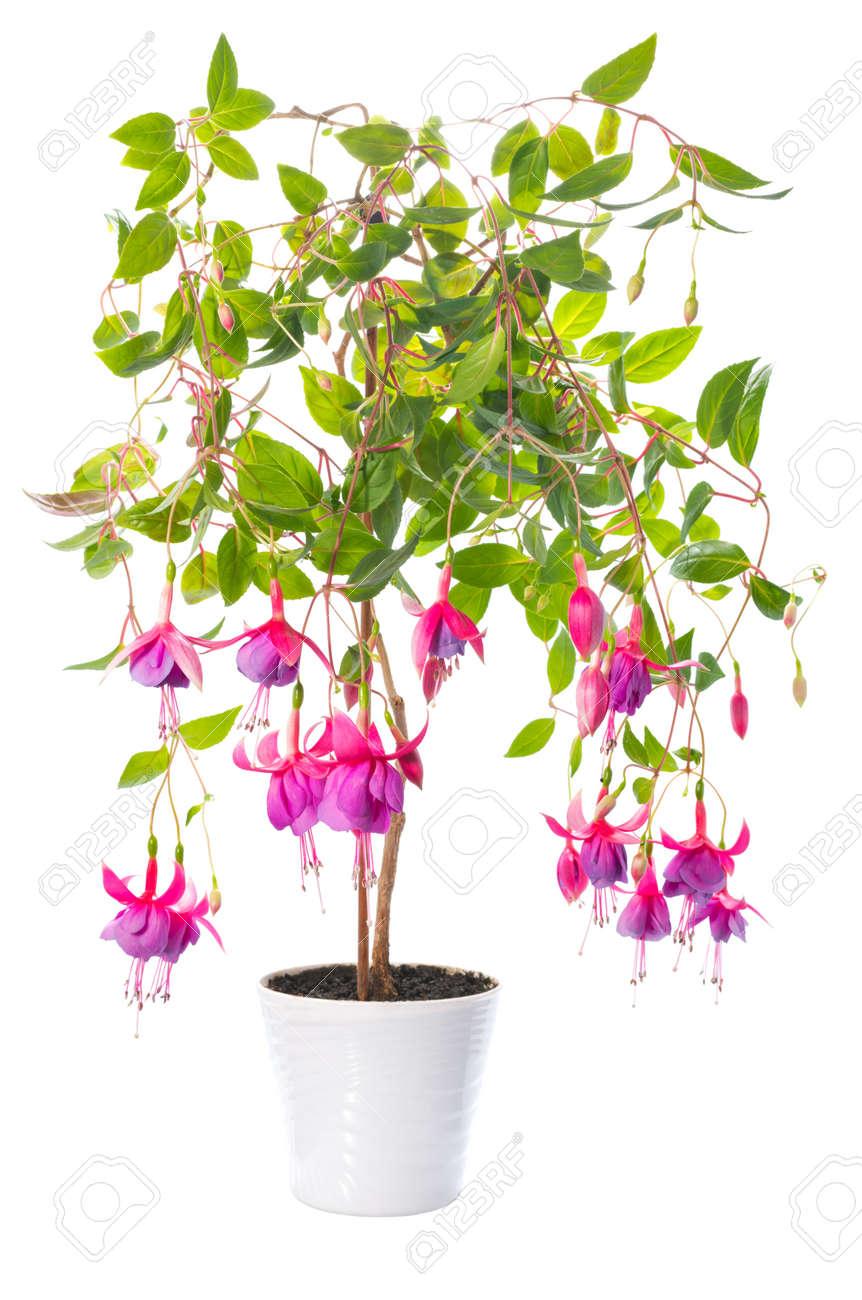 plantas de interior fucsia de la flor en maceta aislados en fondo blanco foto de