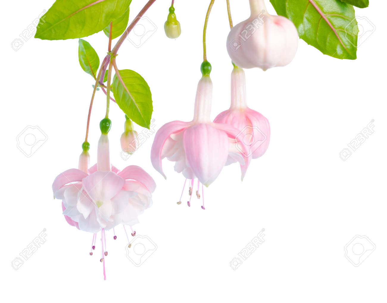 White and pink fuchsia flower branch isolated on white background stock photo white and pink fuchsia flower branch isolated on white background margarita mightylinksfo