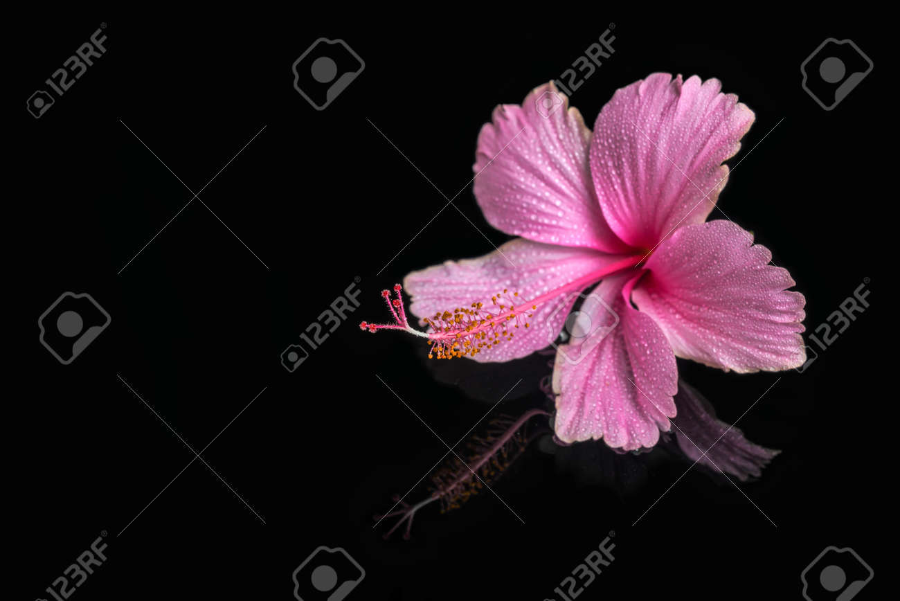 Spa Still Life Of Pink Hibiscus Flower With Drops In Deep Water