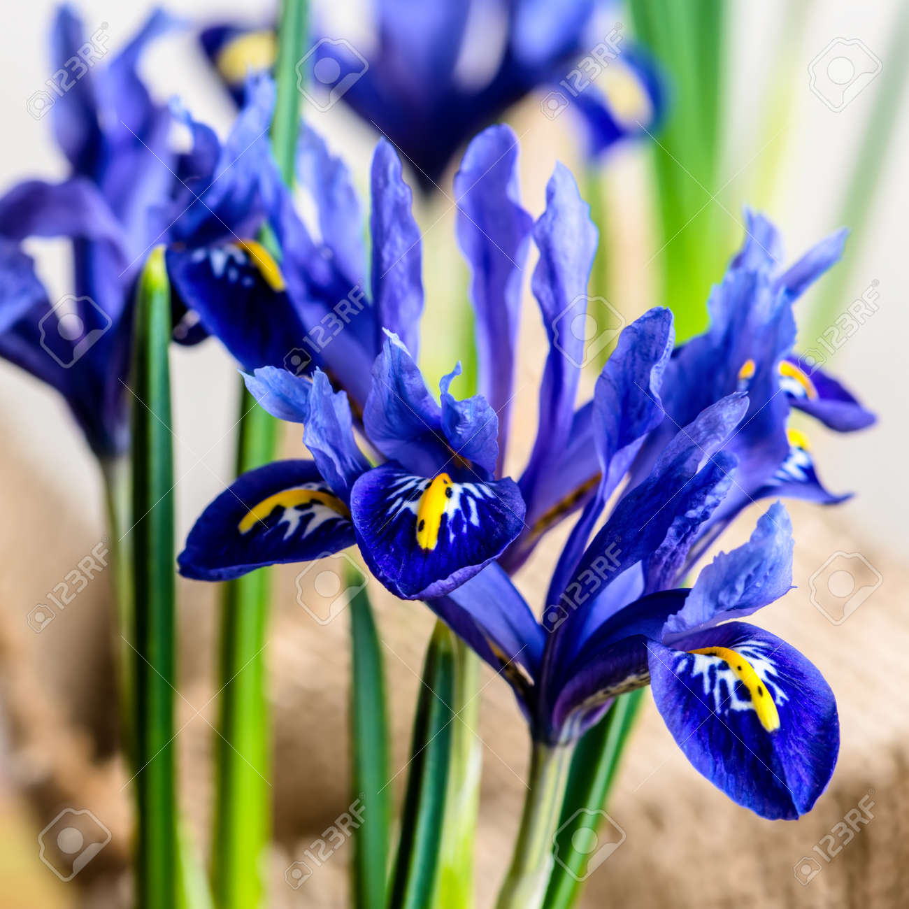 Closeup of iris flowers in burlap on beige background macro stock closeup of iris flowers in burlap on beige background macro stock photo 38942394 izmirmasajfo Image collections
