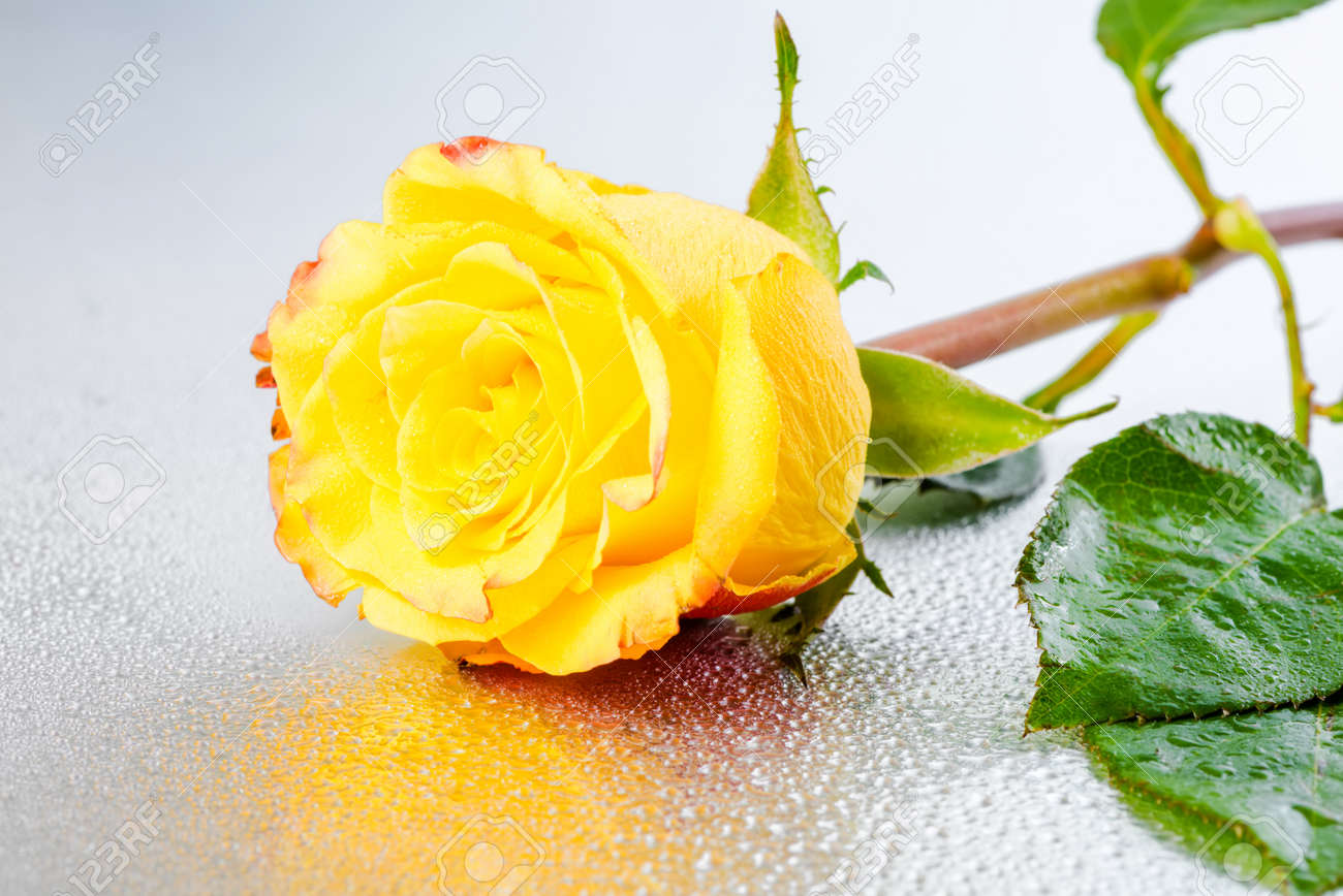 Beautiful Yellow Rose Flower On Silver Background With Dew And