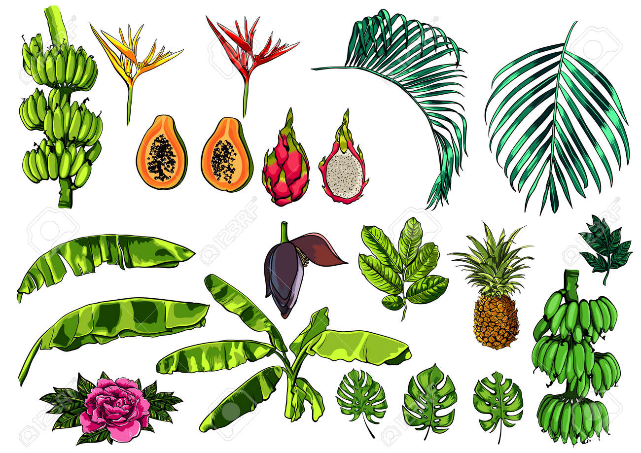 Vector Tropical Exotic Leaves Fruits And Flowers Realistic Royalty Free Cliparts Vectors And Stock Illustration Image 80338177 Tropical leaf leaves green nature palm plant jungle summer exotic. vector tropical exotic leaves fruits and flowers realistic