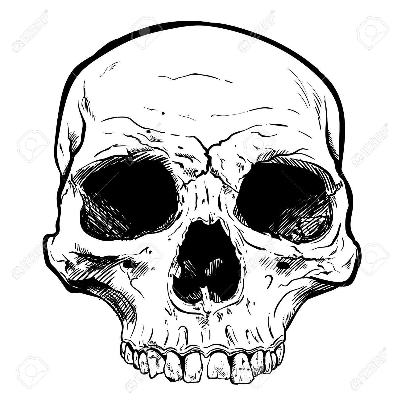 Human Skull Vector Art. Detailed hand drawn illustration of skull..