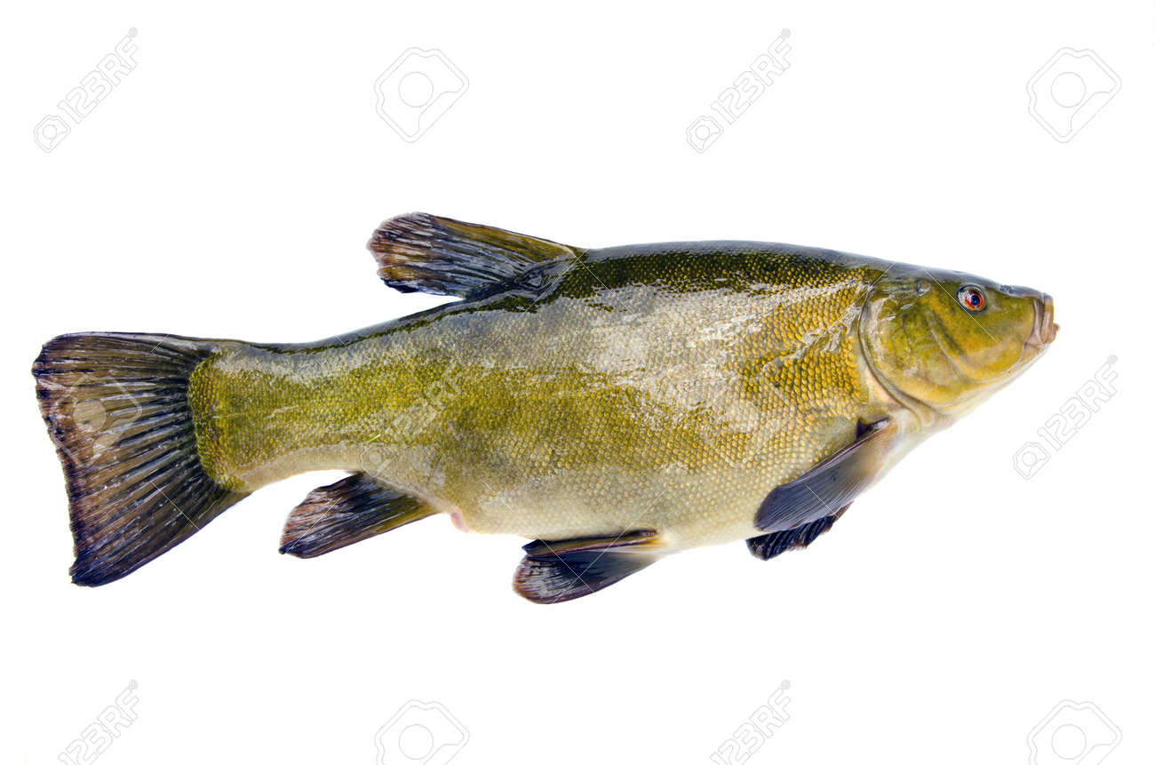 isolated on white background big tench after fishing - 14442287