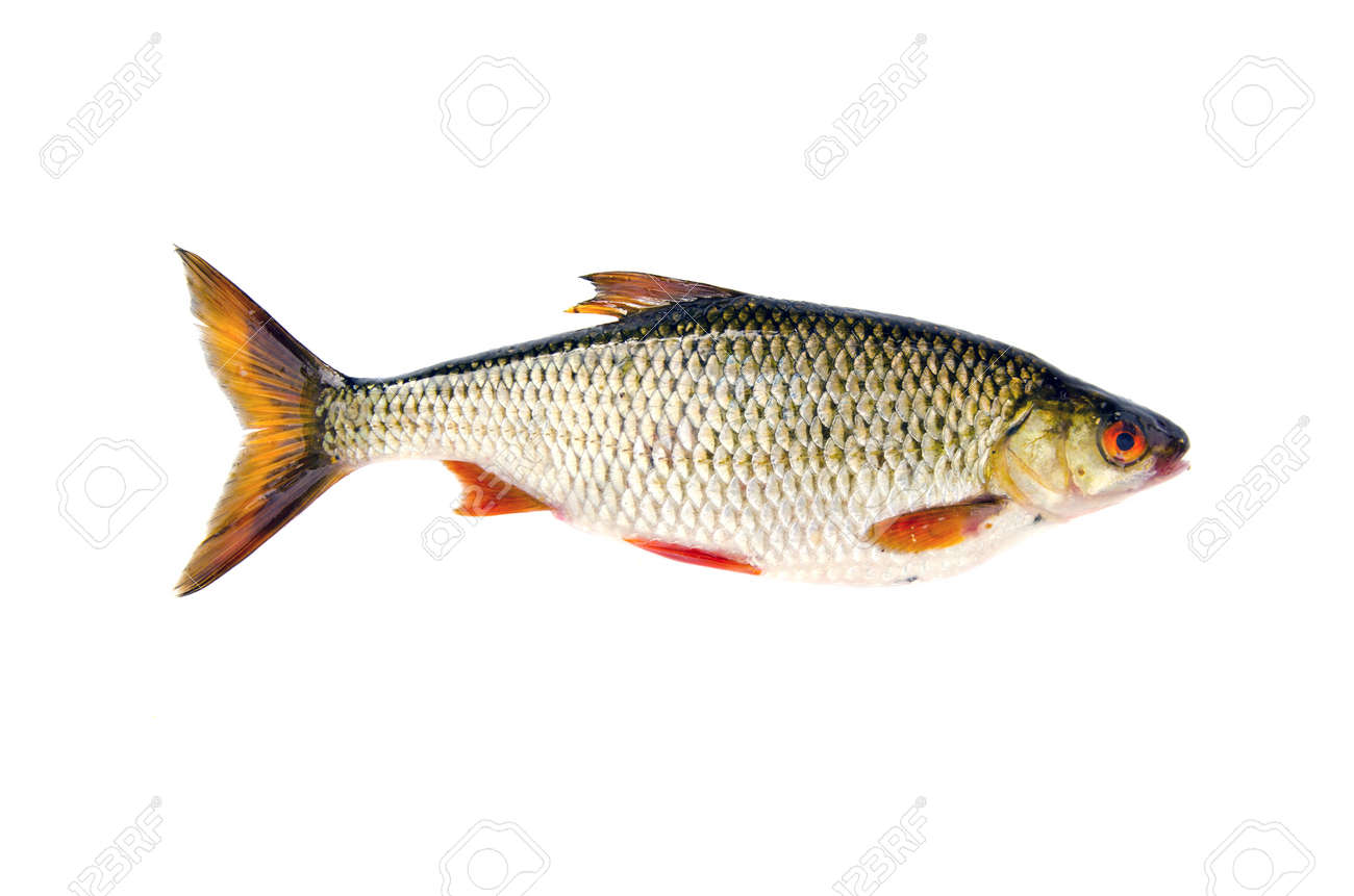 isolated on white background  fresh fish roach Stock Photo - 15120743