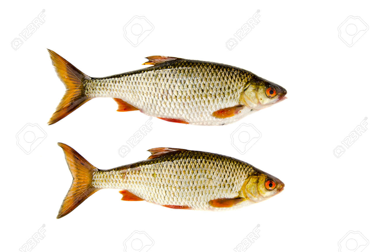isolated on white background two roach fishes Stock Photo - 15554628