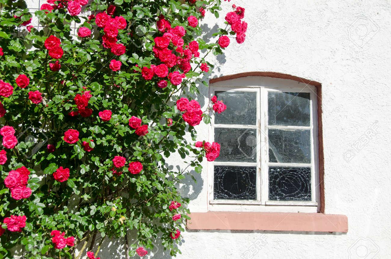 beautiful blossoming rose bush near window on wall - 29174631