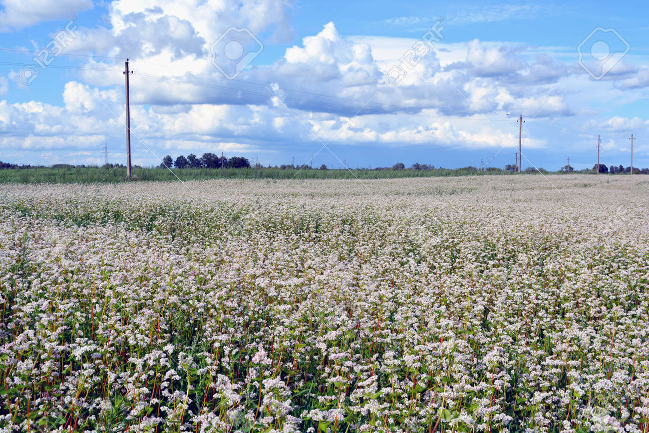 Field Of White Flowering Buckwheat On Sunny Day By Electrical