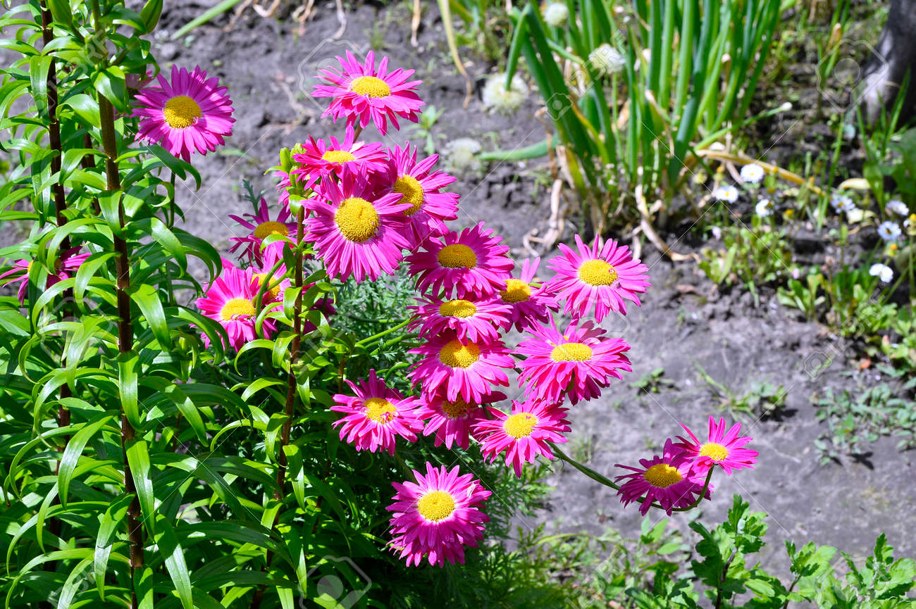 Flowers Decorative Pink Daisies In The Garden Stock Photo Picture