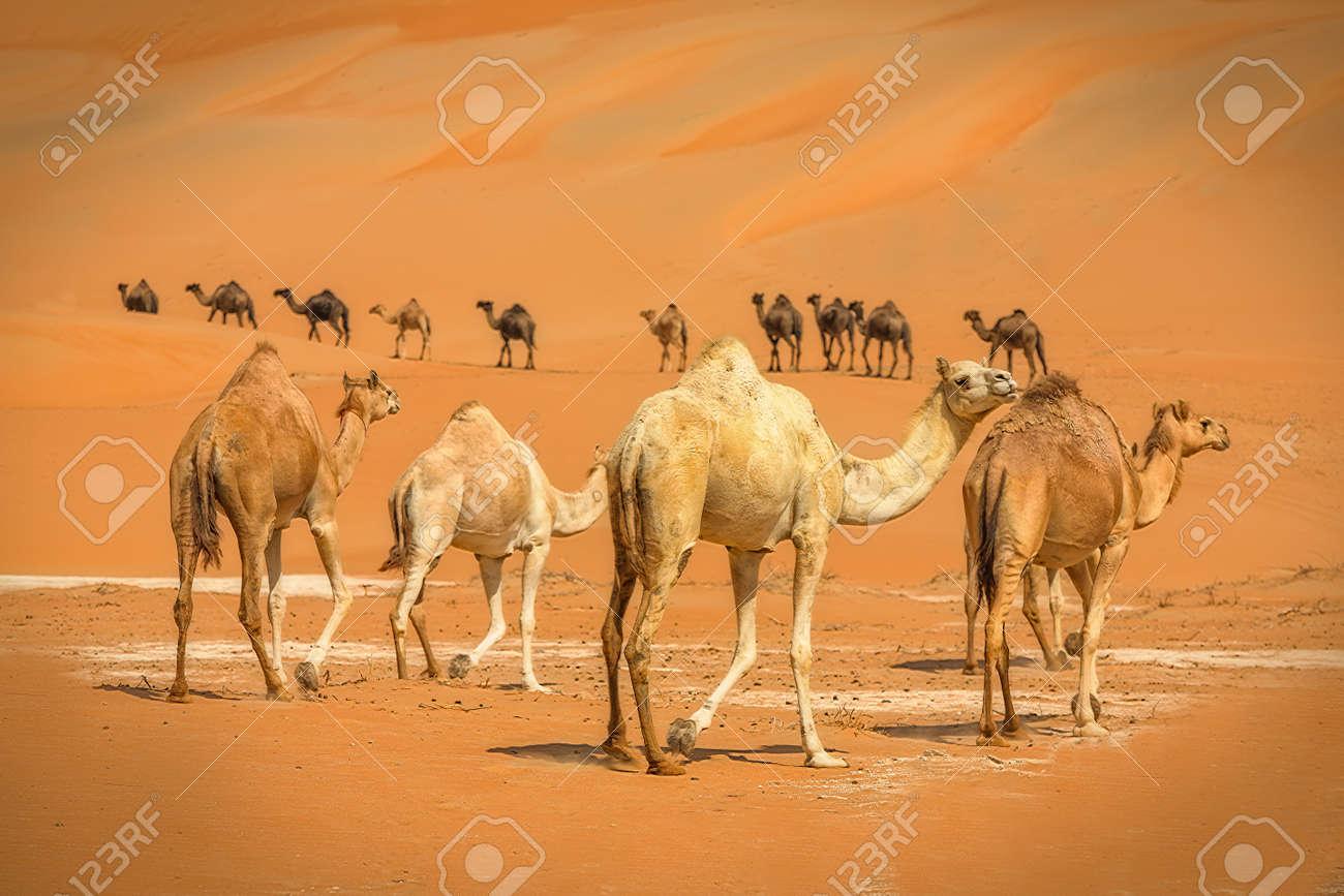 Group Of Camels walking in liwa desert in Abu Dhabi UAE - 142462074