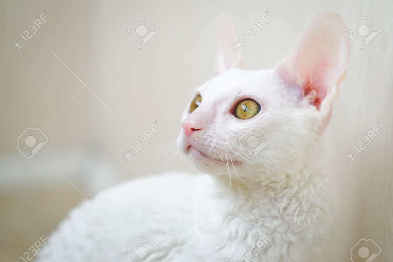 Young White Cornish Rex Cat Looking Left Zdjęcia Royalty Free