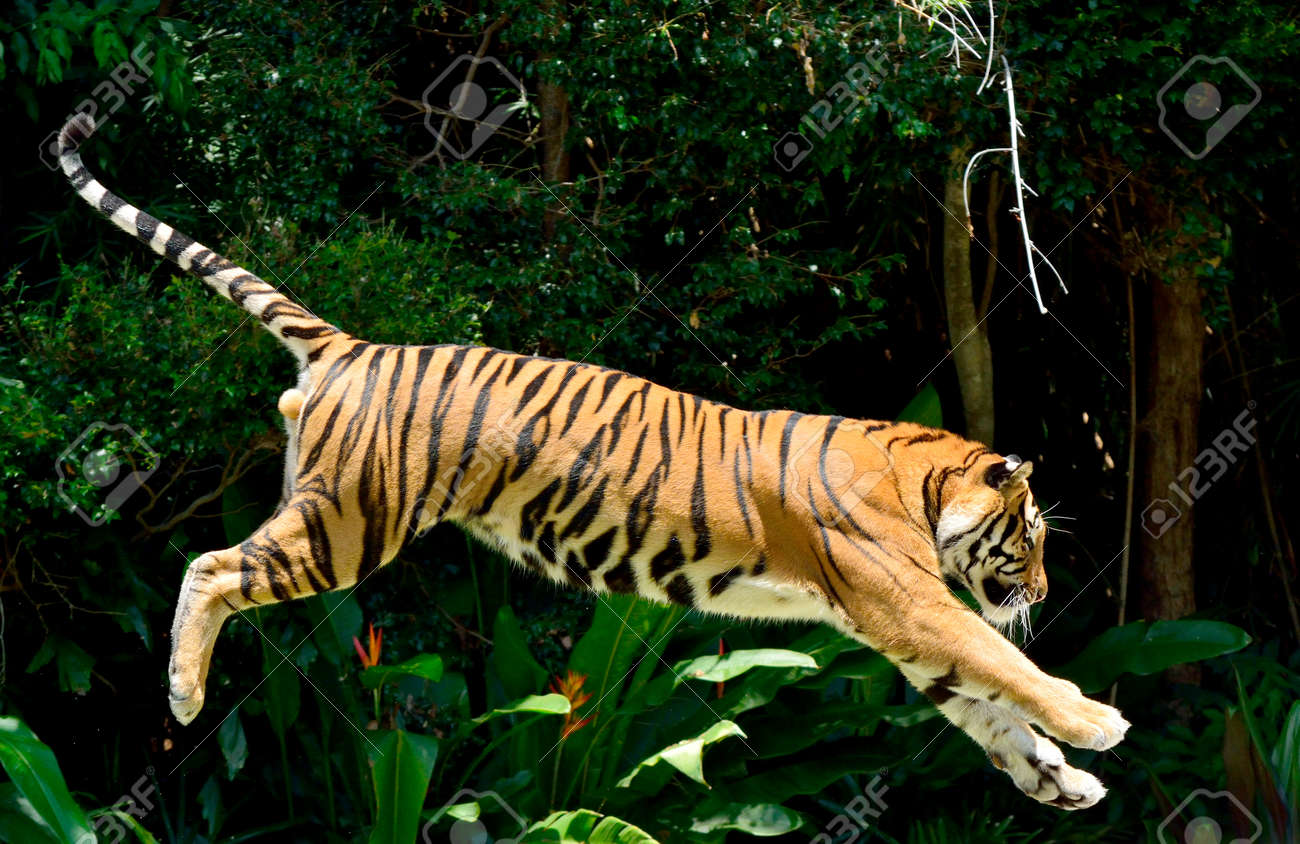 Tiger (Panthera tigris) performing a jump. - 98532916