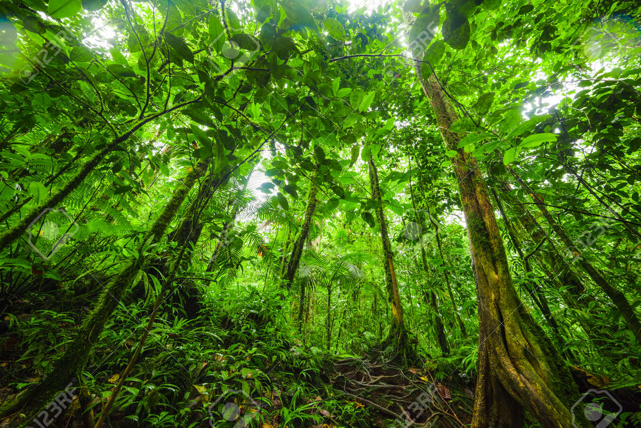 Tall trees in Basse Terre jungle. Guadeloupe, Lesser Antilles - 126984280