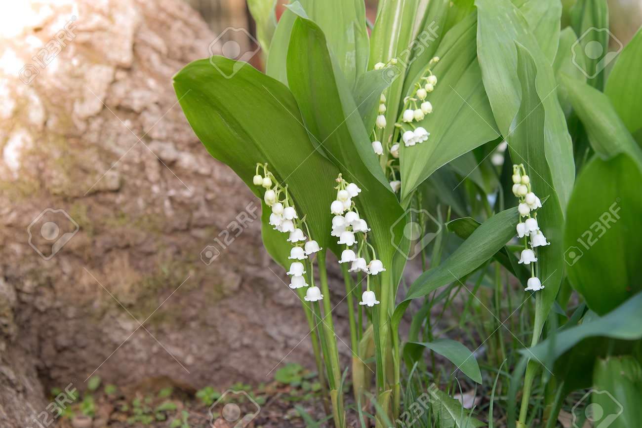 White Bell Shaped Flowers Hang From Lily Of The Valley Growing