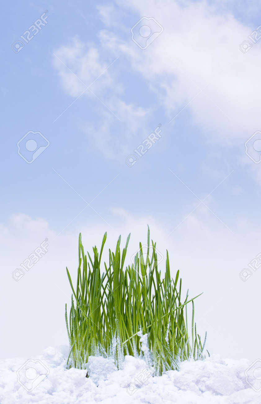 New grass is sprouting up through the snow Stock Photo - 6911342