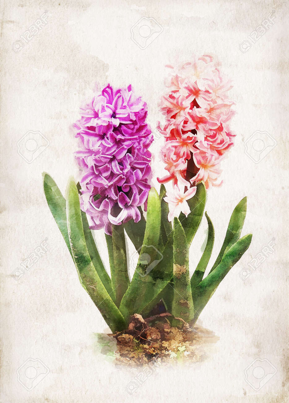 Illustration of watercolor hyacinth on a vintage background - 13642554