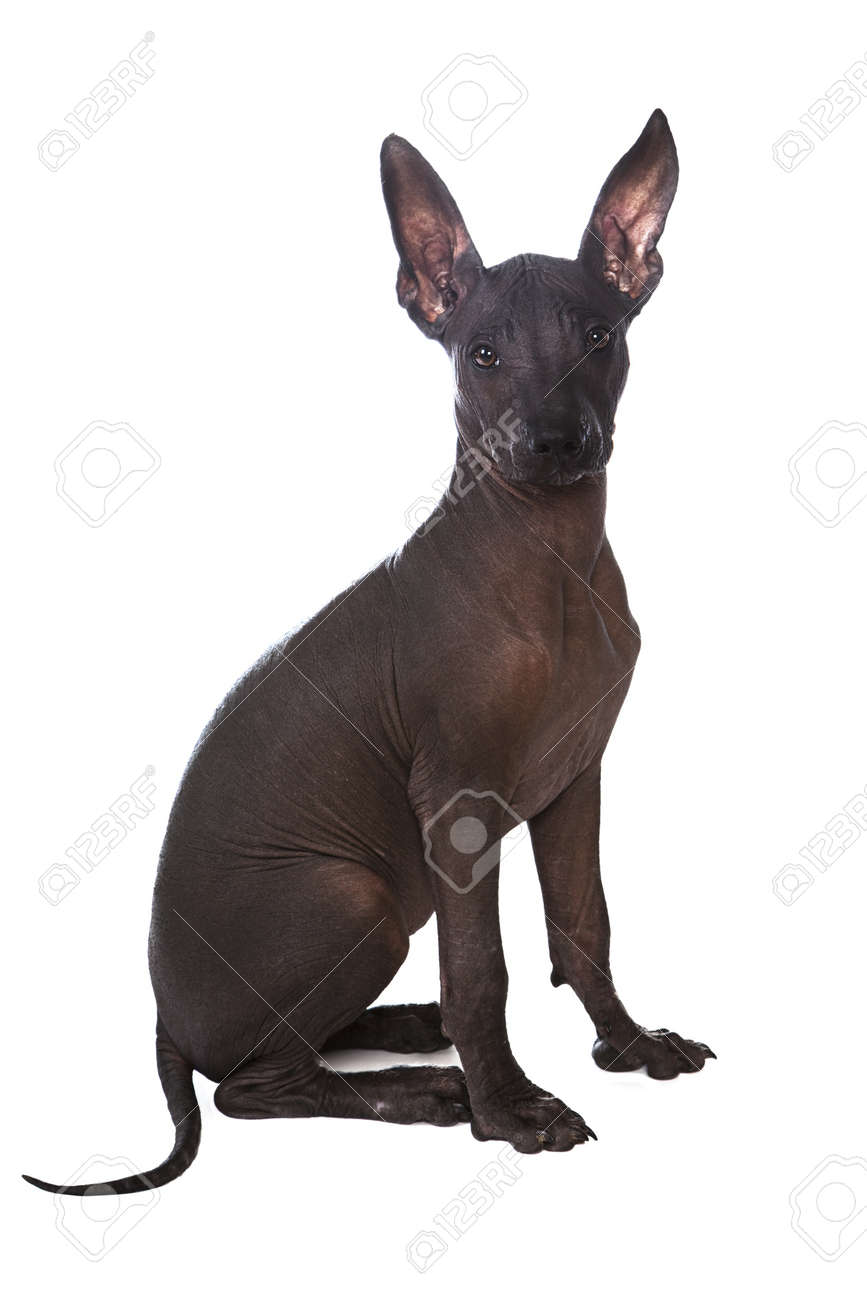 Three month old Mexican xoloitzcuintle puppy over white background - 14586262