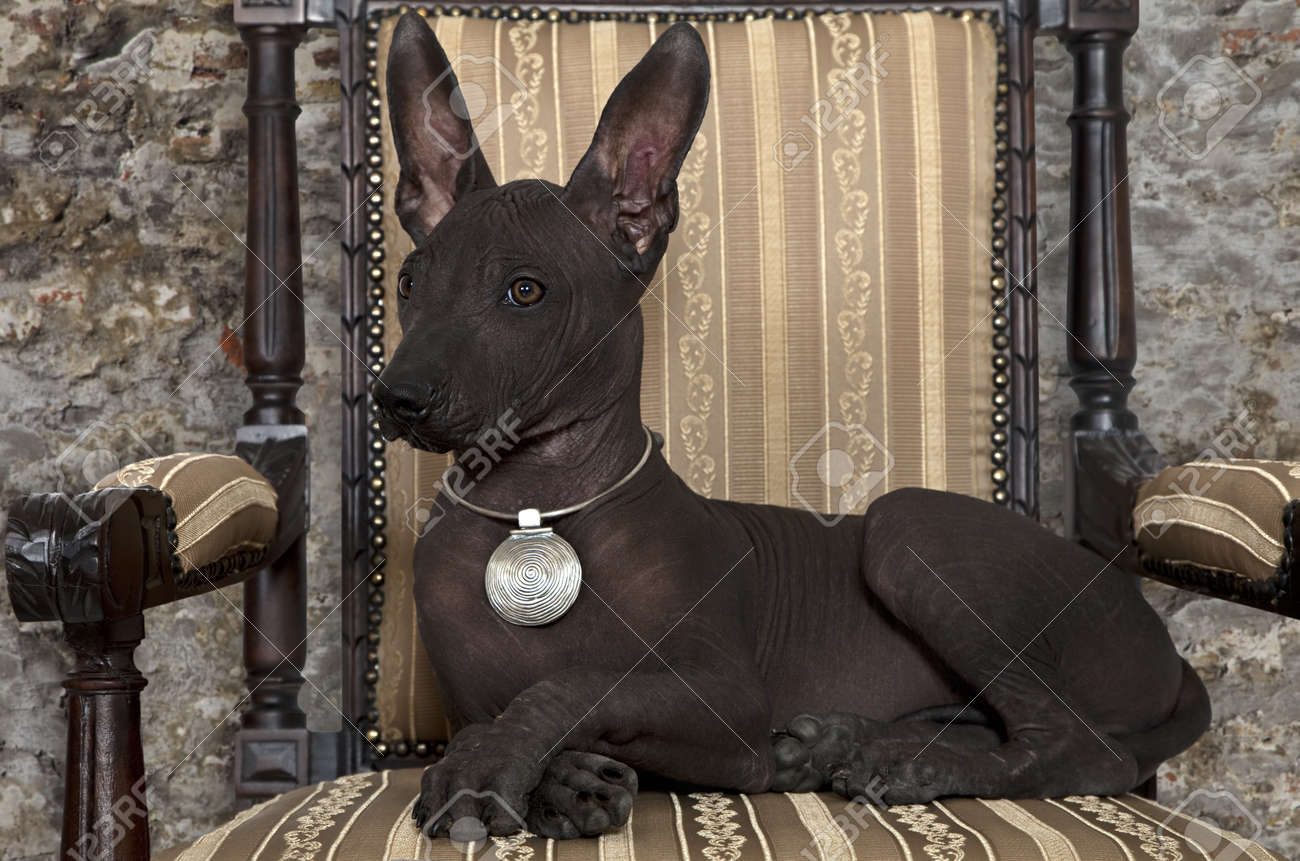 Portrait Of Mexican Xoloitzcuintle Puppy Posing On An Antique Chair Stock  Photo   14606121