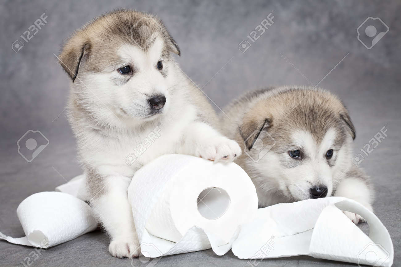 One month old alaskan malamute puppies with toilet paper - 14951492