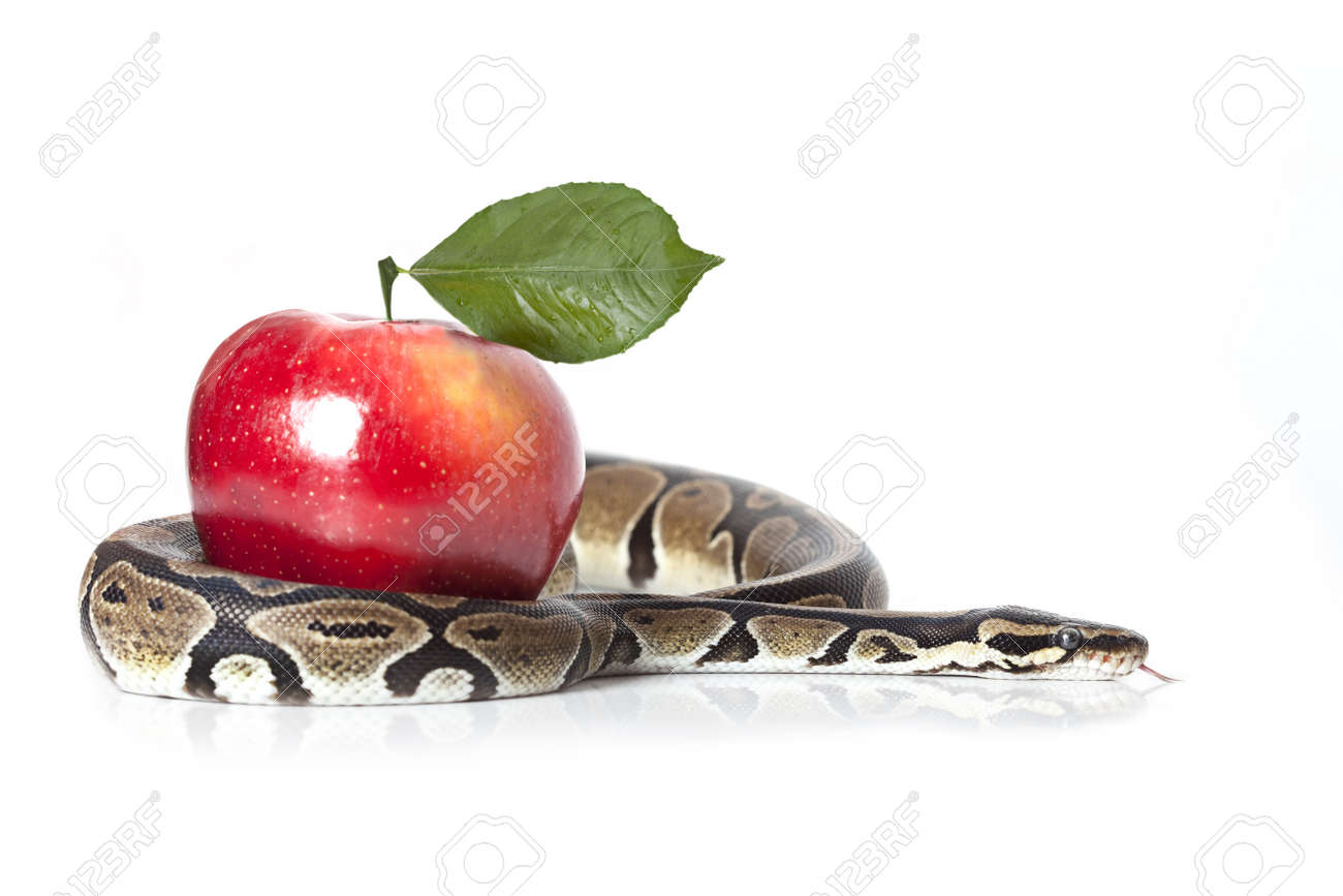 Royal Python with red apple on white background - 16645909