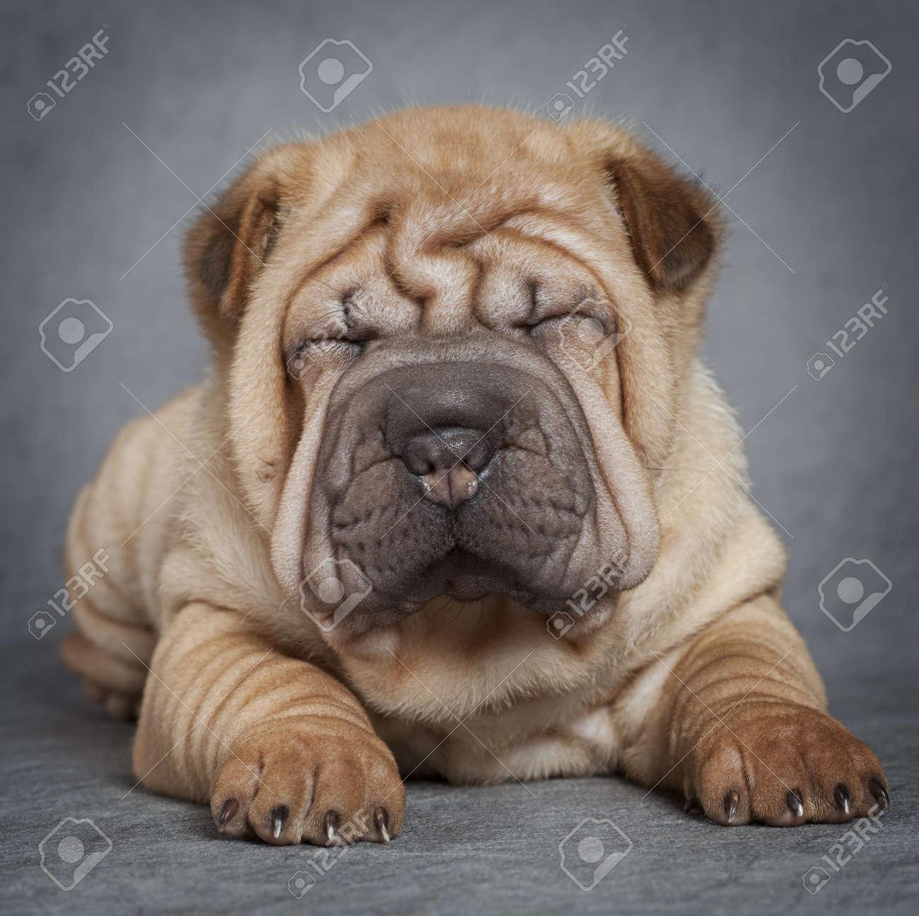 Portrait of sharpei puppy dog against grey background - 16877404
