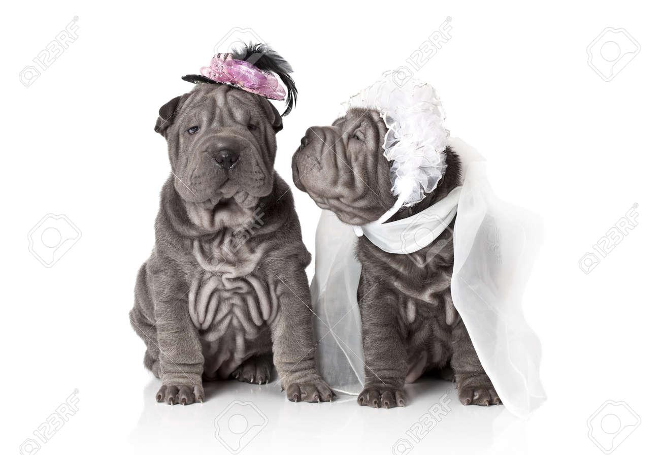 Two sharpei puppy dog dressed in wedding attire, on white background - 17170110