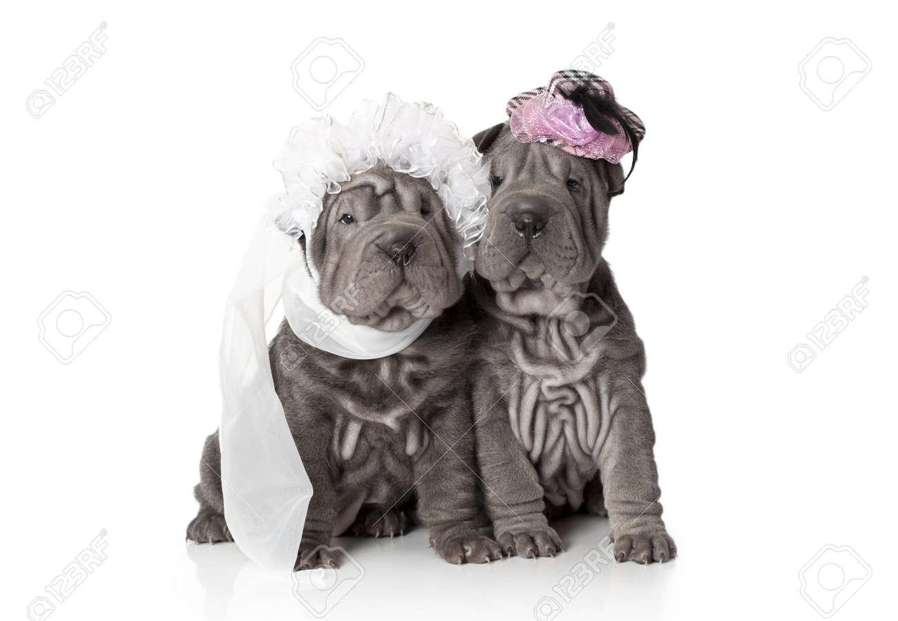 Two sharpei puppies dressed in wedding attire, on white background - 17345392