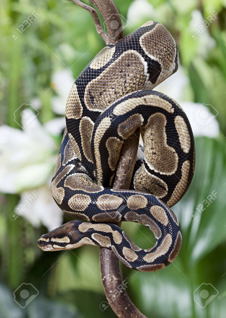 Royal Python snake creeping on a wooden branch - 17728123