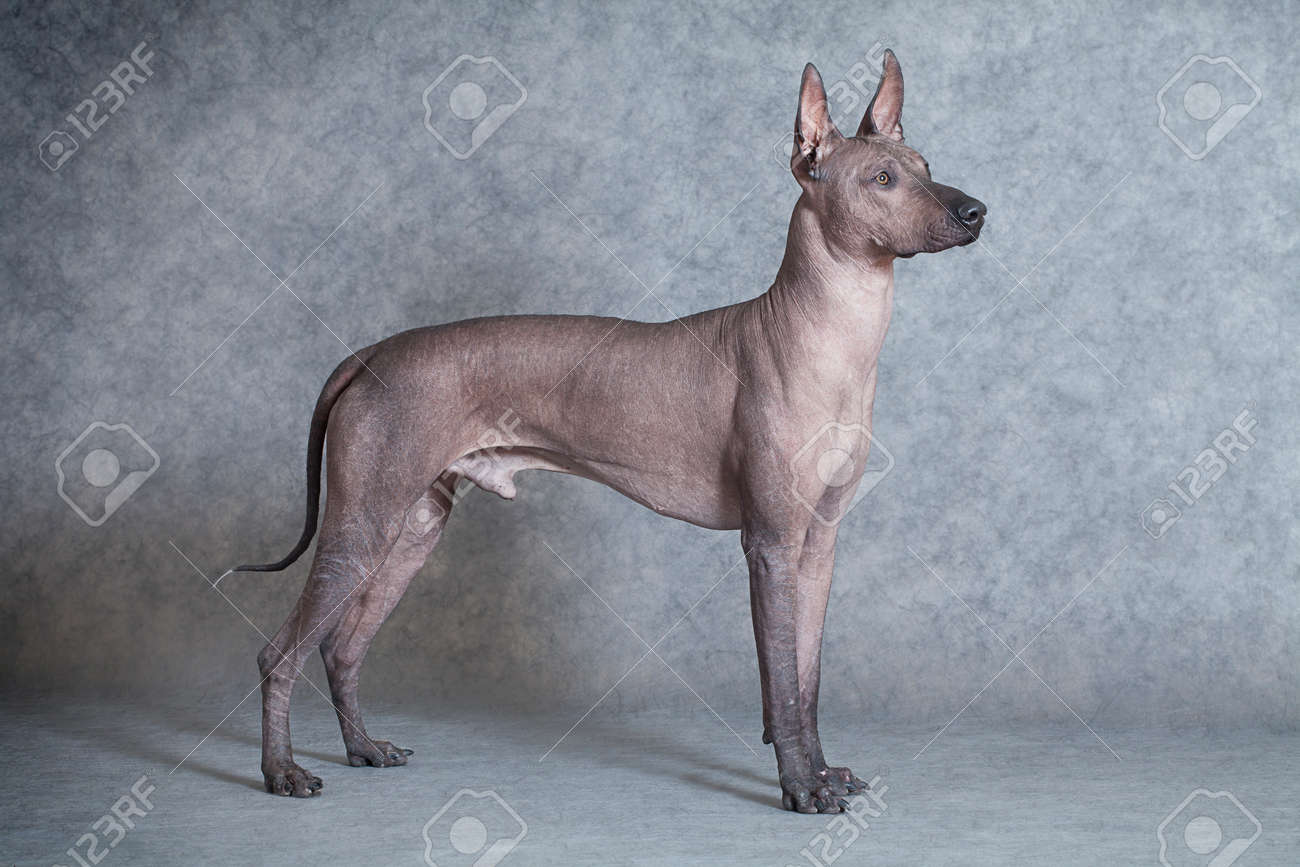 Mexican xoloitzcuintle male dog against grey background. Eighteen months old - 24389661
