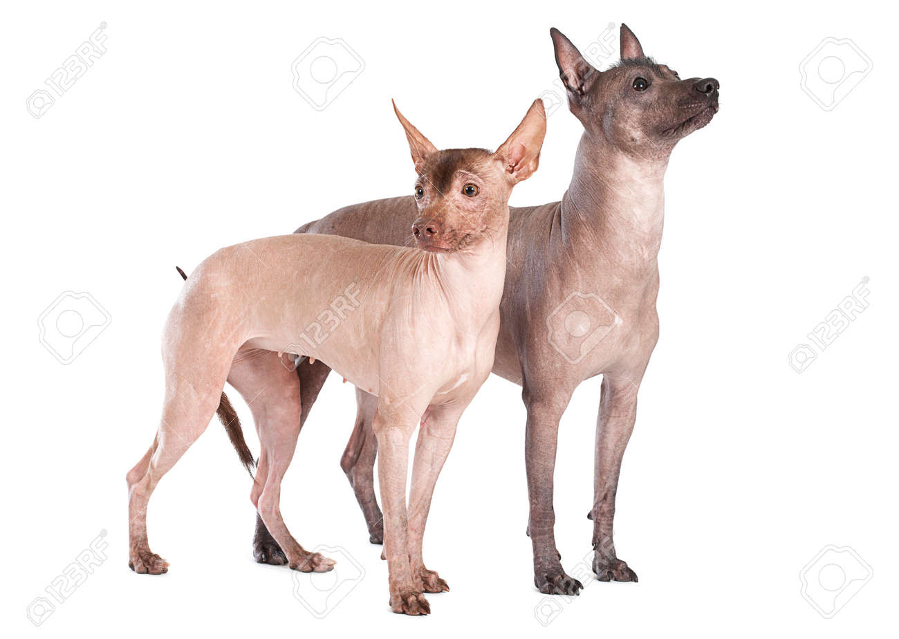 Hairless Mexican xoloitzcuintle dogs isolated on white