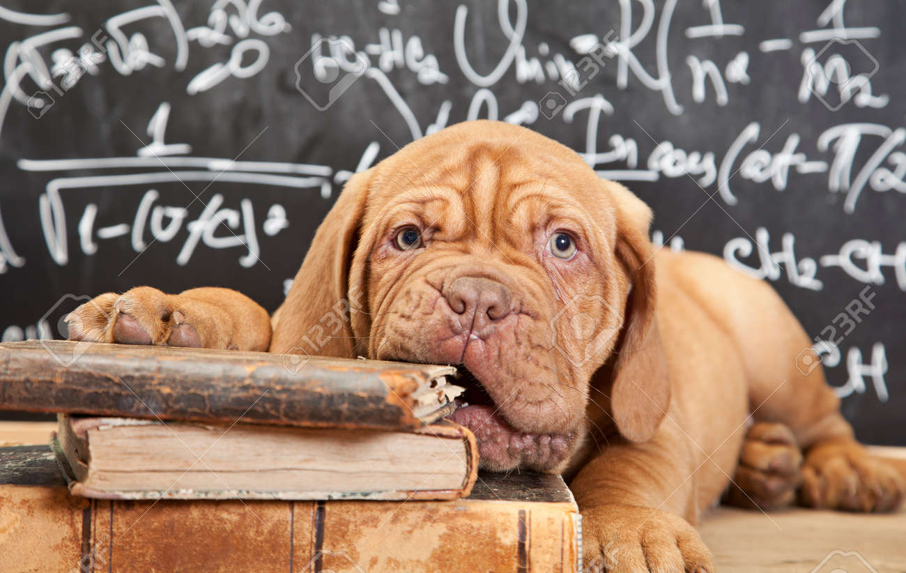 Puppy of Dogue de Bordeaux (French mastiff) chewing a book - 31075450