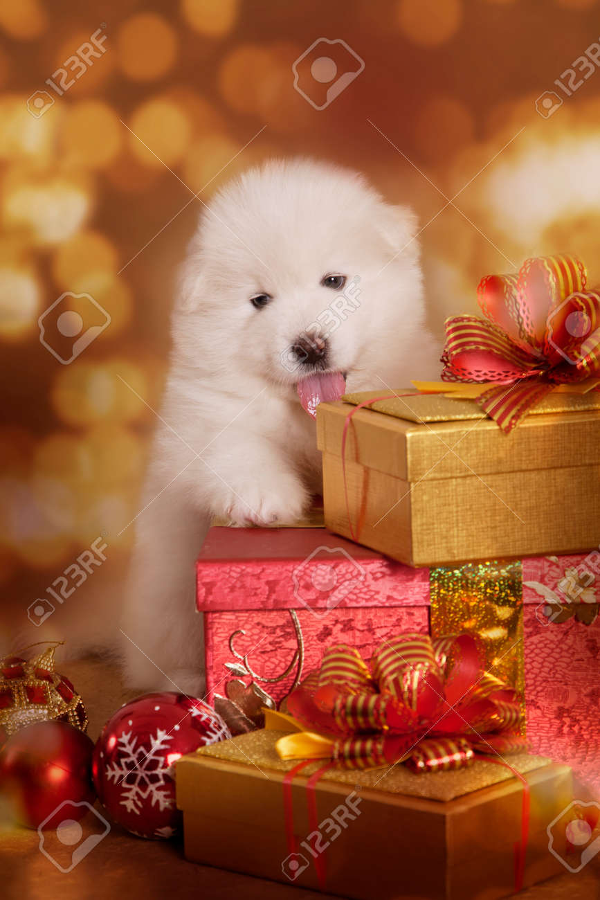 Samoyed puppy dog with gifts in front of Christmas background Stock Photo - 33033922