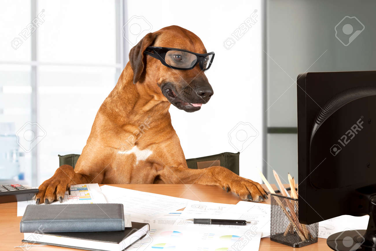 Rhodesian Ridgeback dog sitting at a desk in front of a computer as an office manager - 43296051