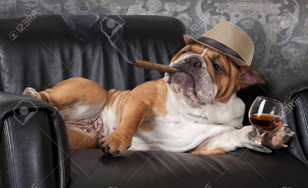 Humorous photograph of English Bulldog resting in a black leather chair with a cigar and glass of cognac - 53346462