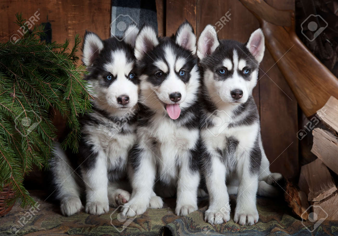 Portrait Of Purebred Siberian Husky Puppies Indoors Stock Photo Picture And Royalty Free Image Image 56597885