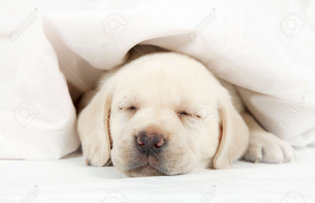 Six Weeks Old Purebred Labrador Puppy Sleeping In A Bed Covered