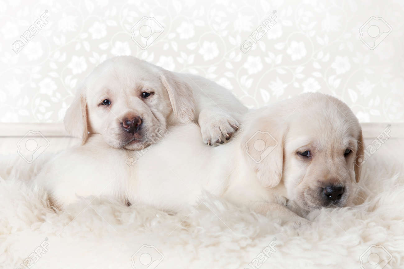Two Purebred Labrador Puppies Lying On A Fur Rug Indoors Stock Photo