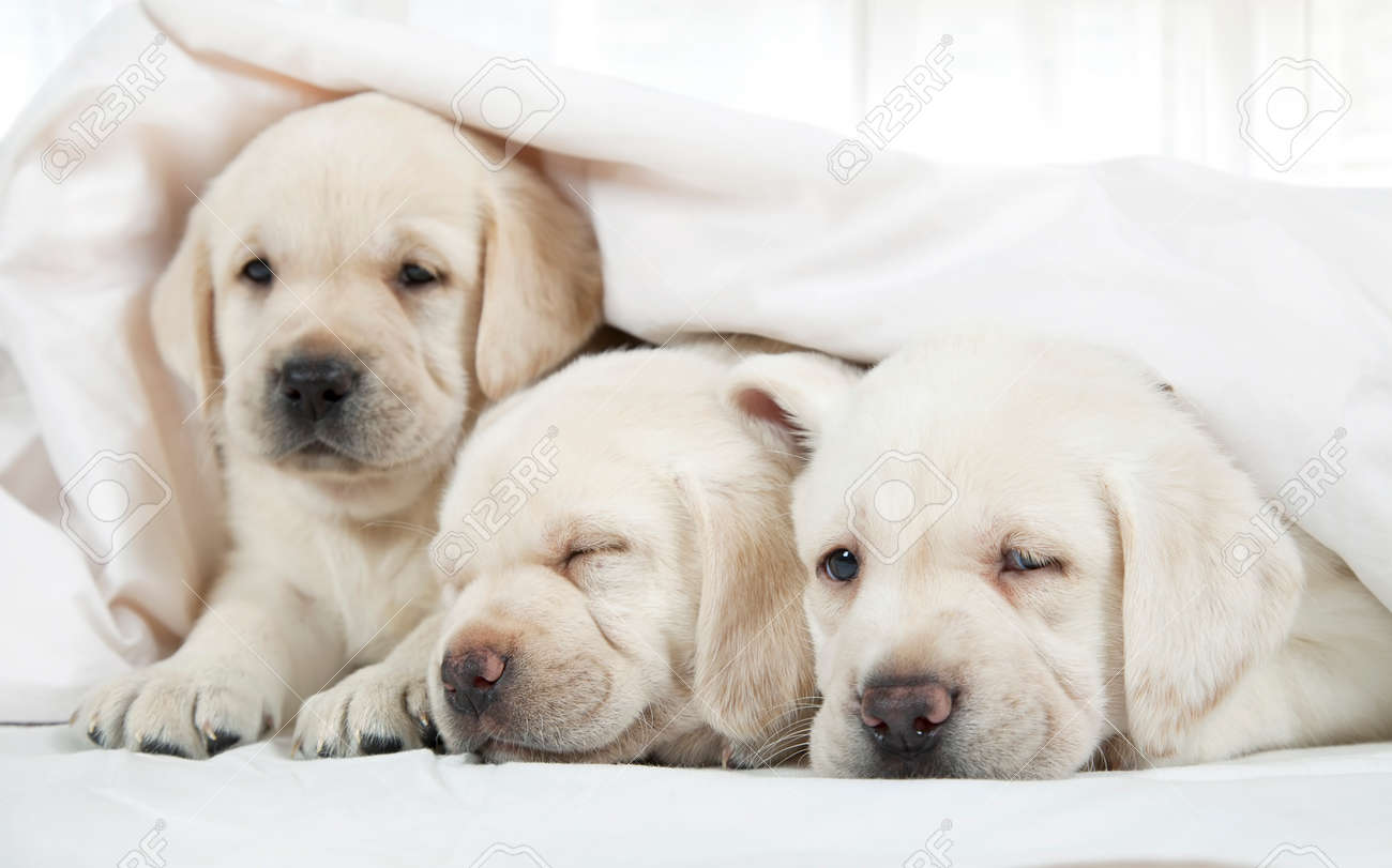 Six Weeks Old Purebred Labrador Puppies Lying In A Bed Covered