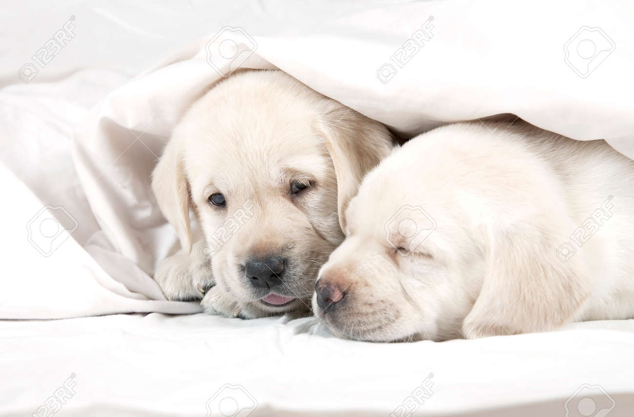 Two Six Weeks Old Purebred Labrador Puppies Lying In A Bed Covered