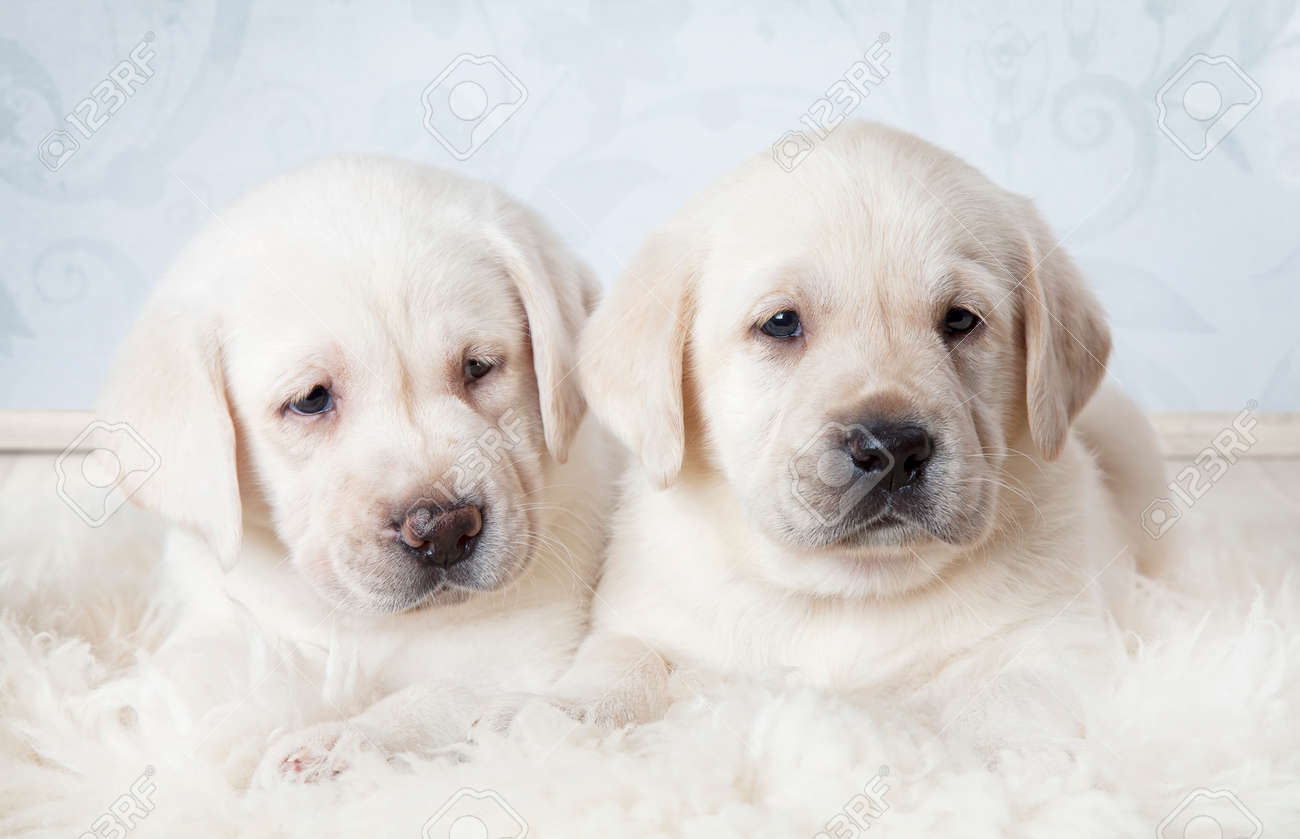 Two Purebred Labrador Puppies Six Weeks Old Lying On A Fur Stock